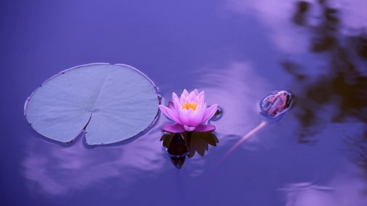 Lotus Natural Wallpaper Full Hd Nature Desktop Hd Wallpaper Background 1280x720 Download Hd Wallpaper Wallpapertip