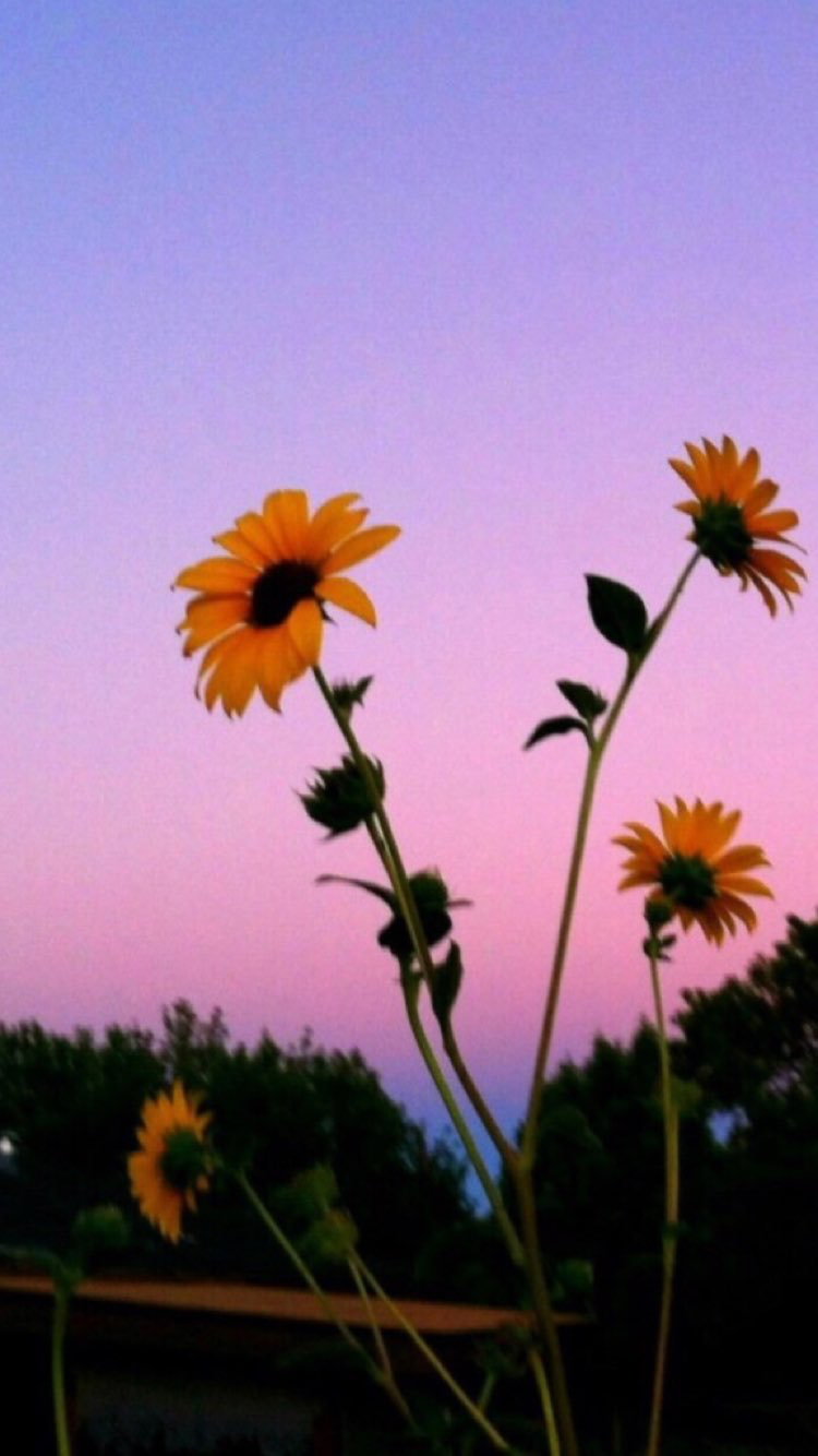 Aesthetic Tumblr Wallpapers Sunflowers Hd Wallpaper Aesthetic Tumblr Sunflower Background 750x1334 Download Hd Wallpaper Wallpapertip