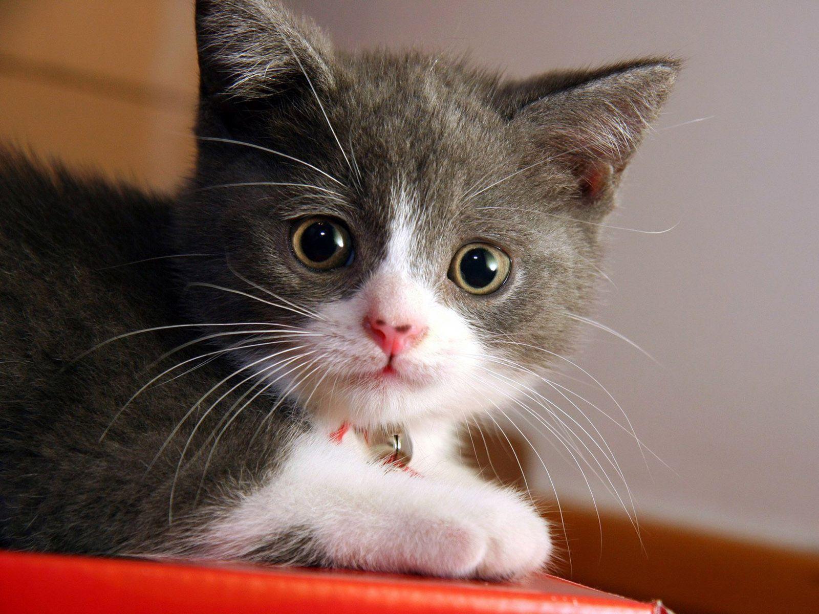 Cute Cats 029 Wallpaper Beauty Cat 1600x1200 Download Hd Wallpaper Wallpapertip