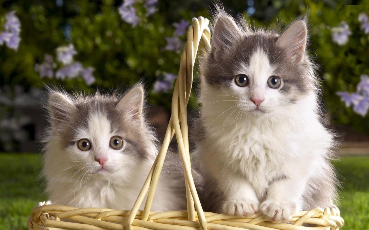 Cute Cats Wallpaper 20 Photos Couple Cat 1280x800 Download Hd Wallpaper Wallpapertip