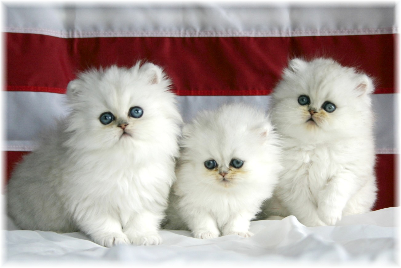 Cute Cat Wallpapers Hd White Three Cute Cats 1304x871 Download Hd Wallpaper Wallpapertip