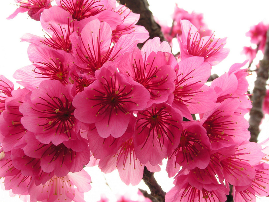 Most Beautiful Flowers In The World For Android Phone Cherry Blossom Flower Types 921x691 Download Hd Wallpaper Wallpapertip,Section 8 1 Bedroom Apartments