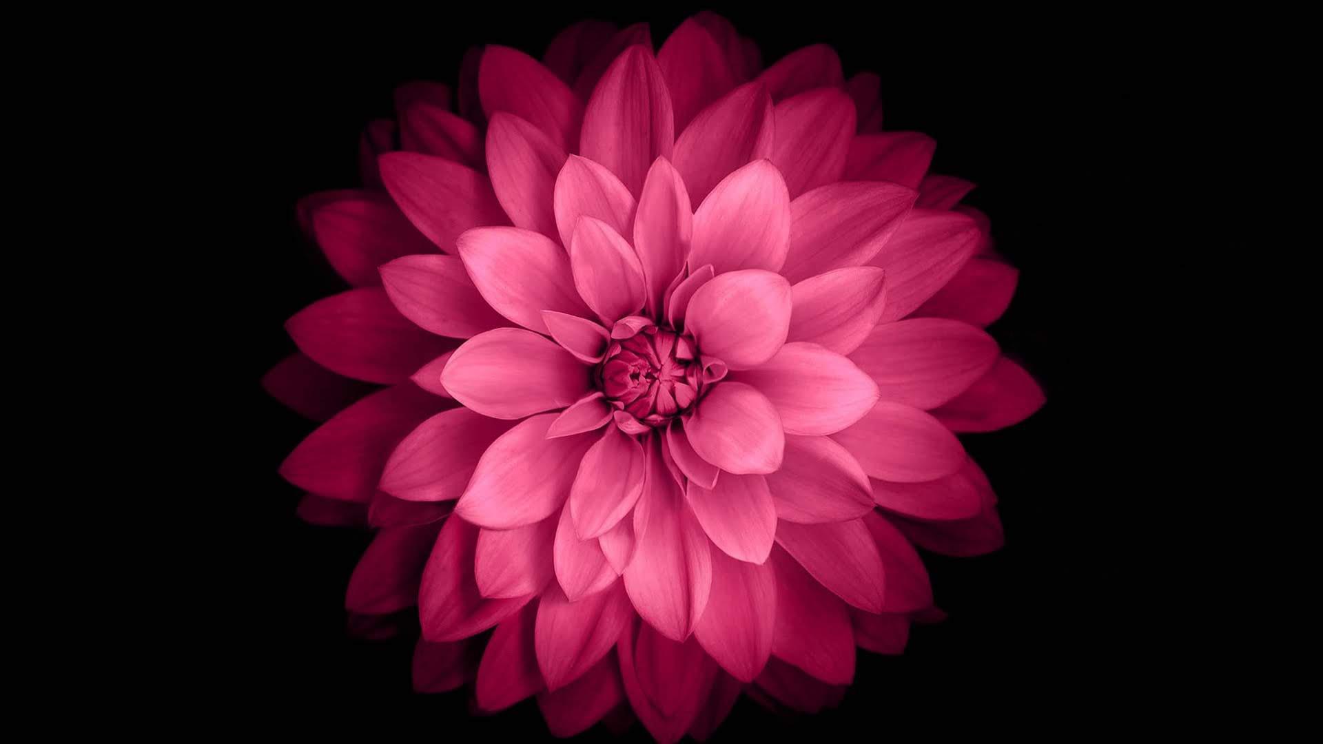 Pink Flower Black Background - 1920x1080 - Download HD ...