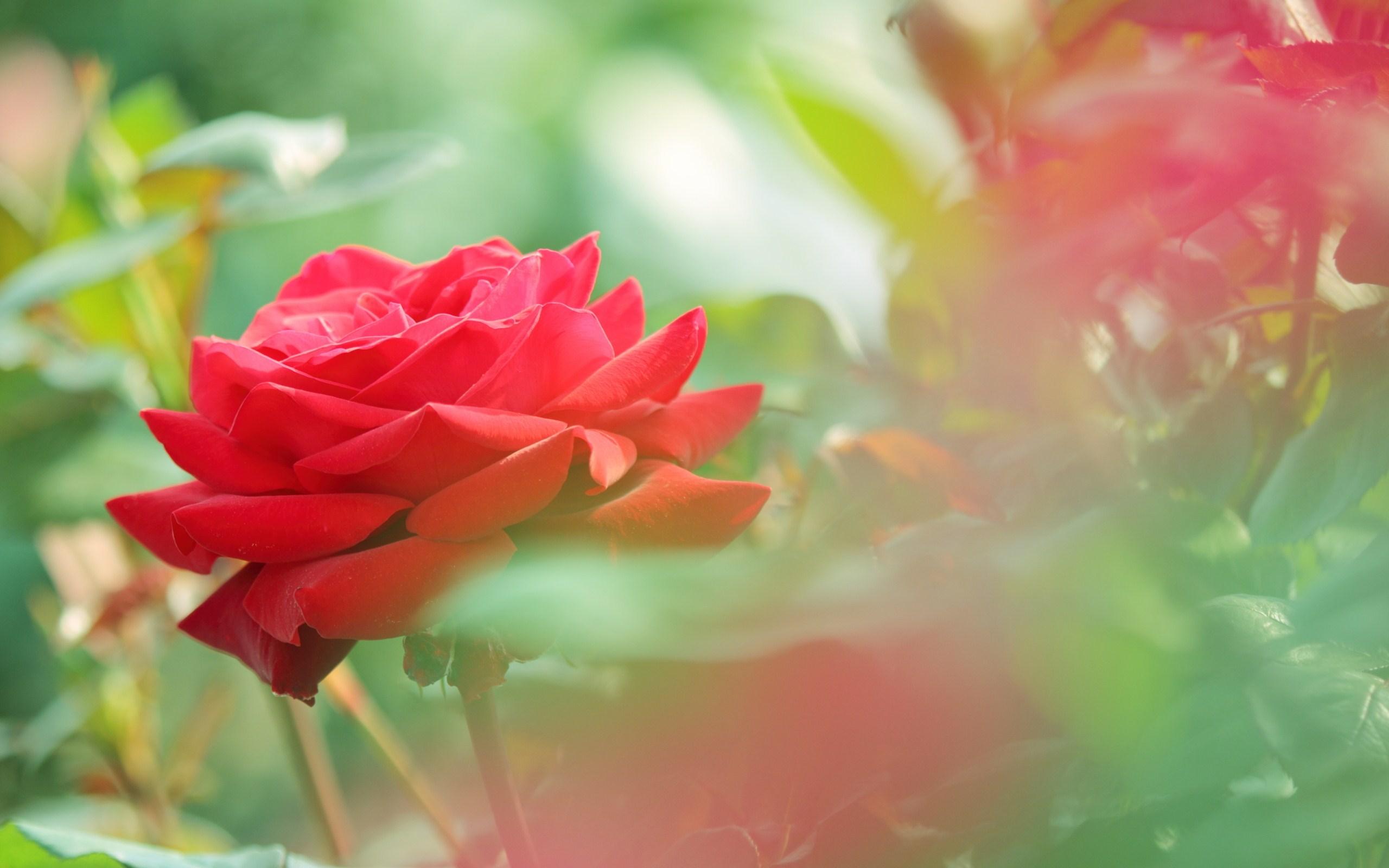 Beautiful Red Rose Flower Hd Wallpaper Good Morning Bible Quotes Tamil 1600x1000 Download Hd Wallpaper Wallpapertip