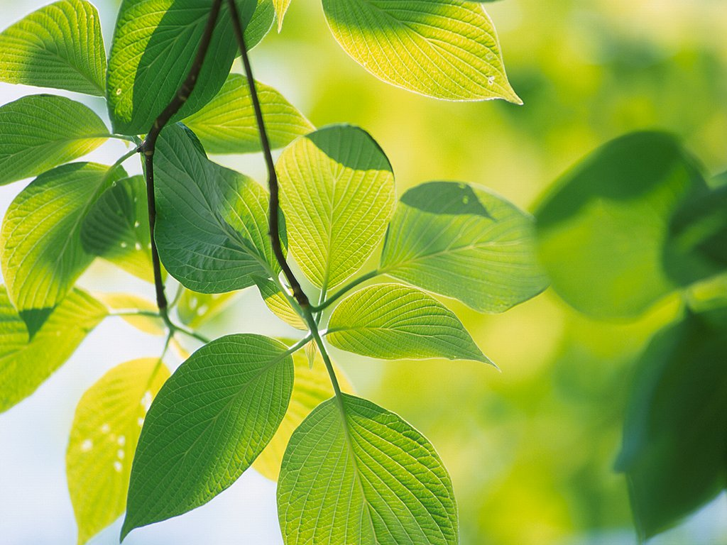 Green Wallpaper Green Leafs 1024x768 Download Hd Wallpaper Wallpapertip