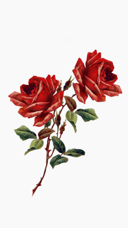 Rosas Rojas Tumblr Png Rosa Fondos De Pantalla Tumblr 421x750 Wallpapertip