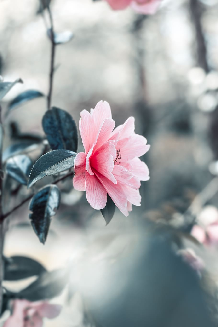 Pink Petaled Flowers In Close Up Photography Beautiful Beautiful Flowers 910x1365 Download Hd Wallpaper Wallpapertip