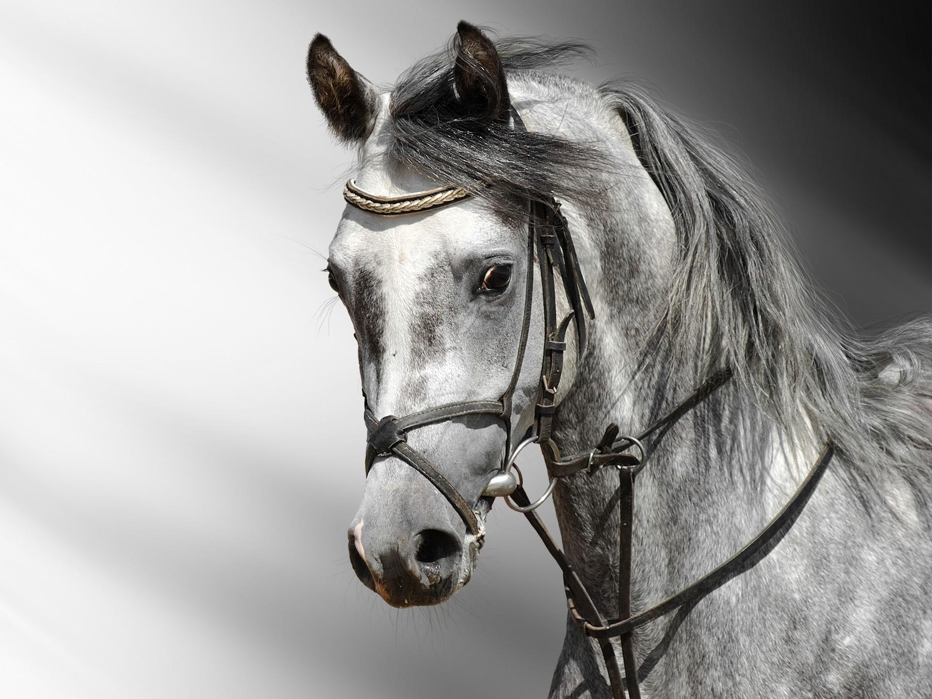 Horse Wallpaper Hd Horse Hd Black And White 1920x1440 Download Hd Wallpaper Wallpapertip