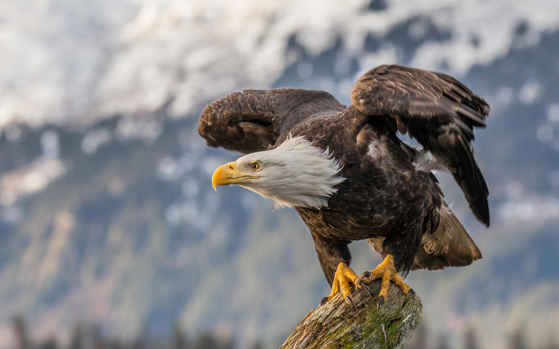 Bald Eagle 4k Hd 2880x1800 Download Hd Wallpaper Wallpapertip