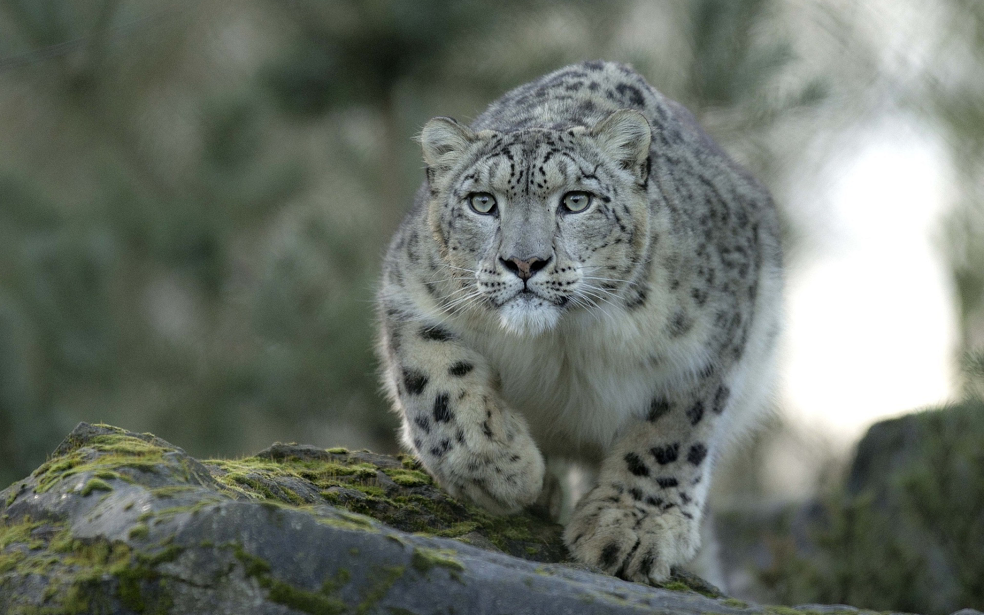 Awesome Snow Leopard Wallpaper - Snow ...