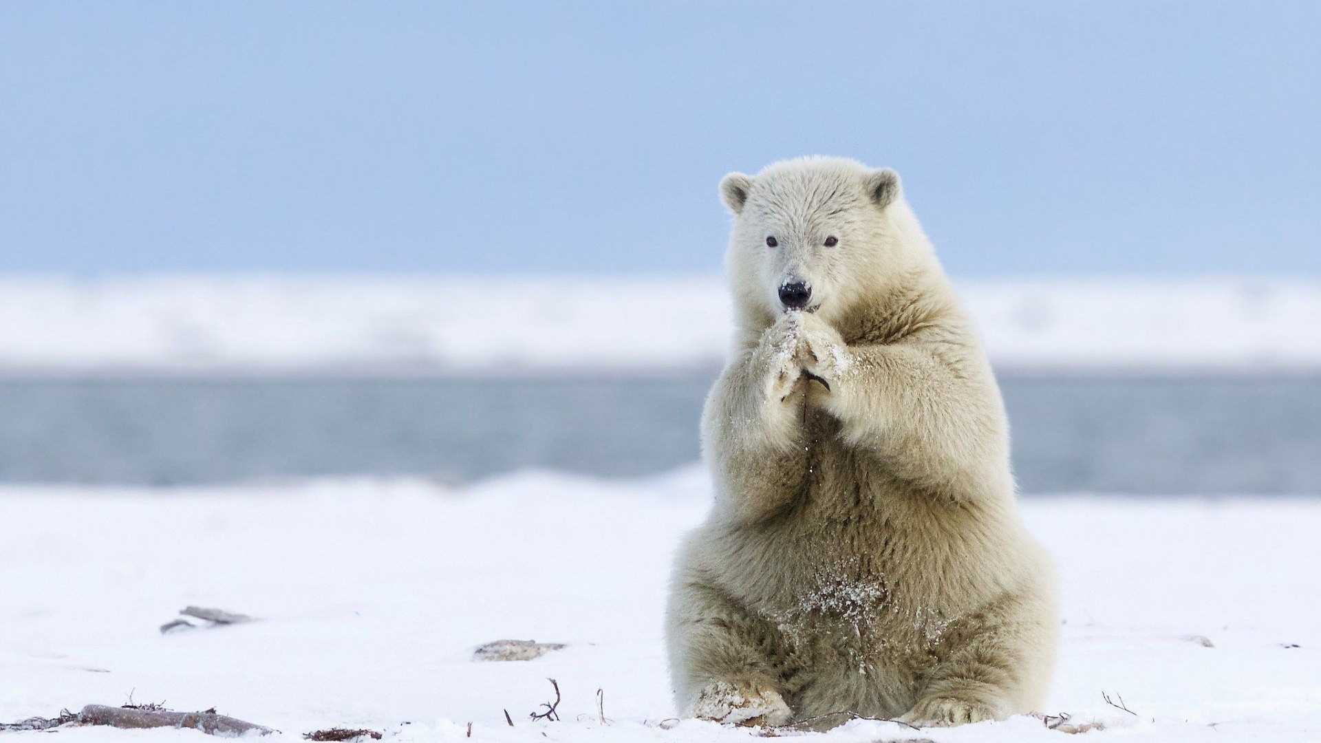 Polar Bear Wallpaper Desktop
