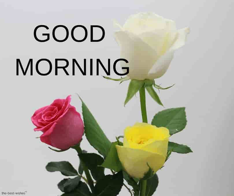 Best Good Morning Images Good Morning Yellow Rose Hd 810x679 Download Hd Wallpaper Wallpapertip