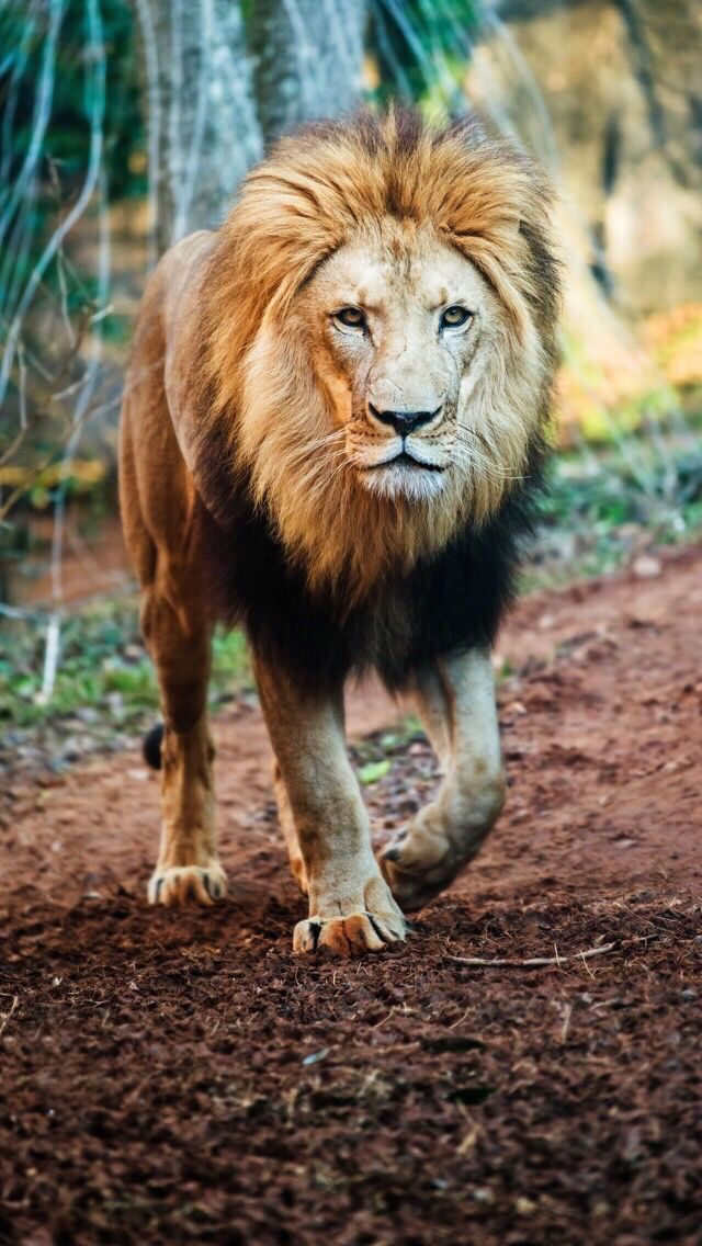 Lion Animal Wallpaper Iphone 640x1136 Download Hd Wallpaper Wallpapertip