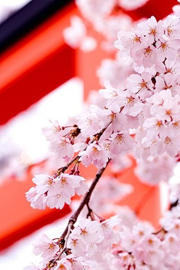Nature Wallpaper For Android Mobile Android Cherry Blossom Wallpaper Hd 720x1080 Download Hd Wallpaper Wallpapertip