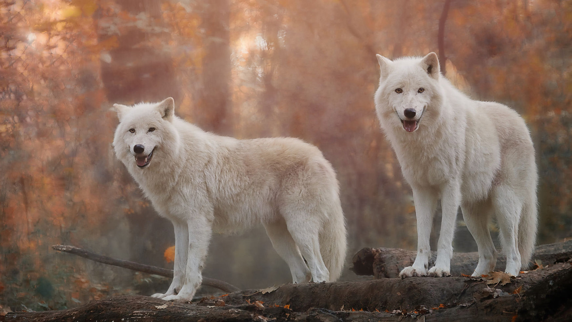 117 1176984 download 1080p white wolf computer wallpaper id desktop