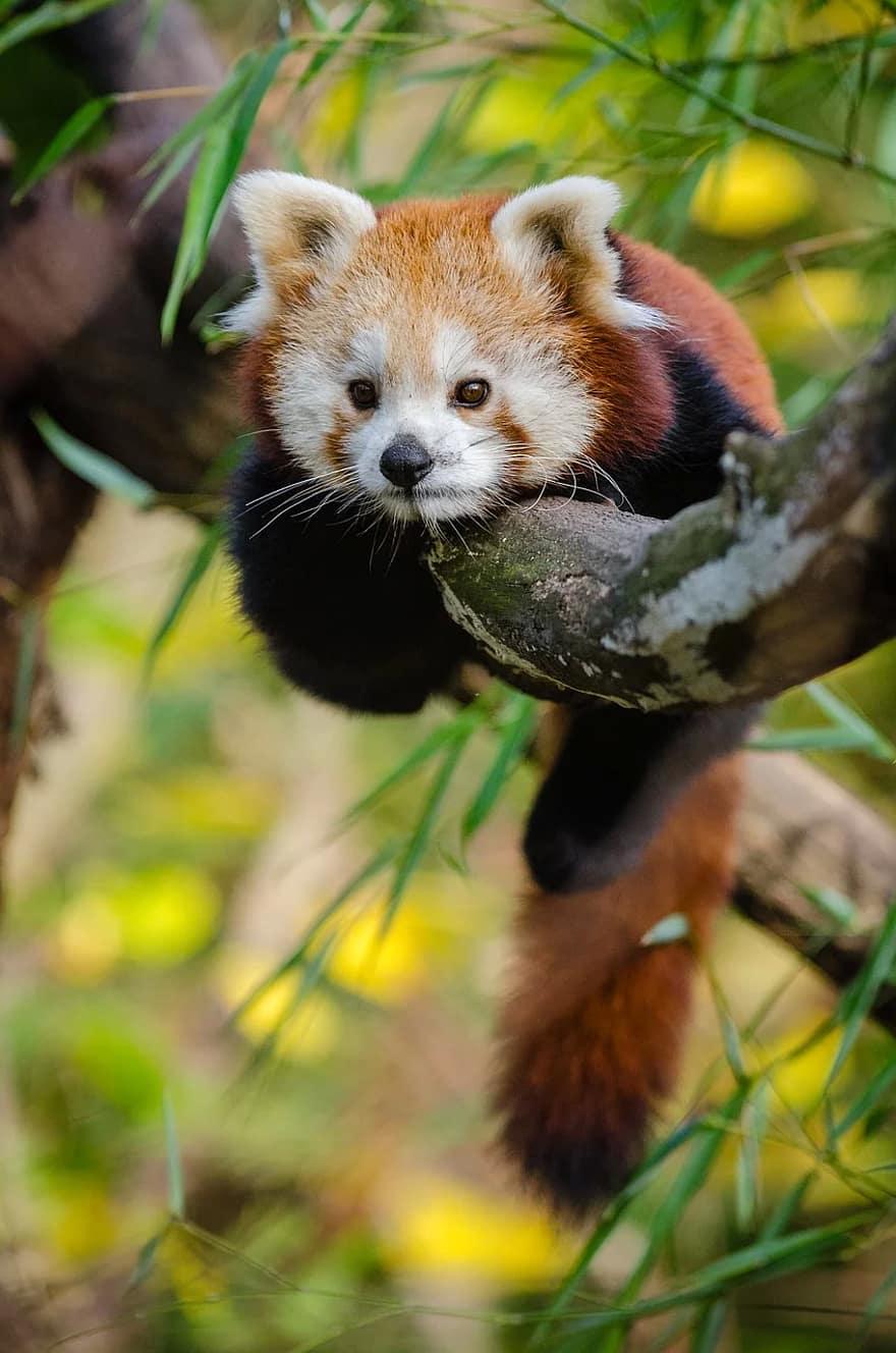 Hewan Imut Wallpaper Lucu Panda Merah Pohon Margasatwa Red Panda 880x1328 Download Hd Wallpaper Wallpapertip