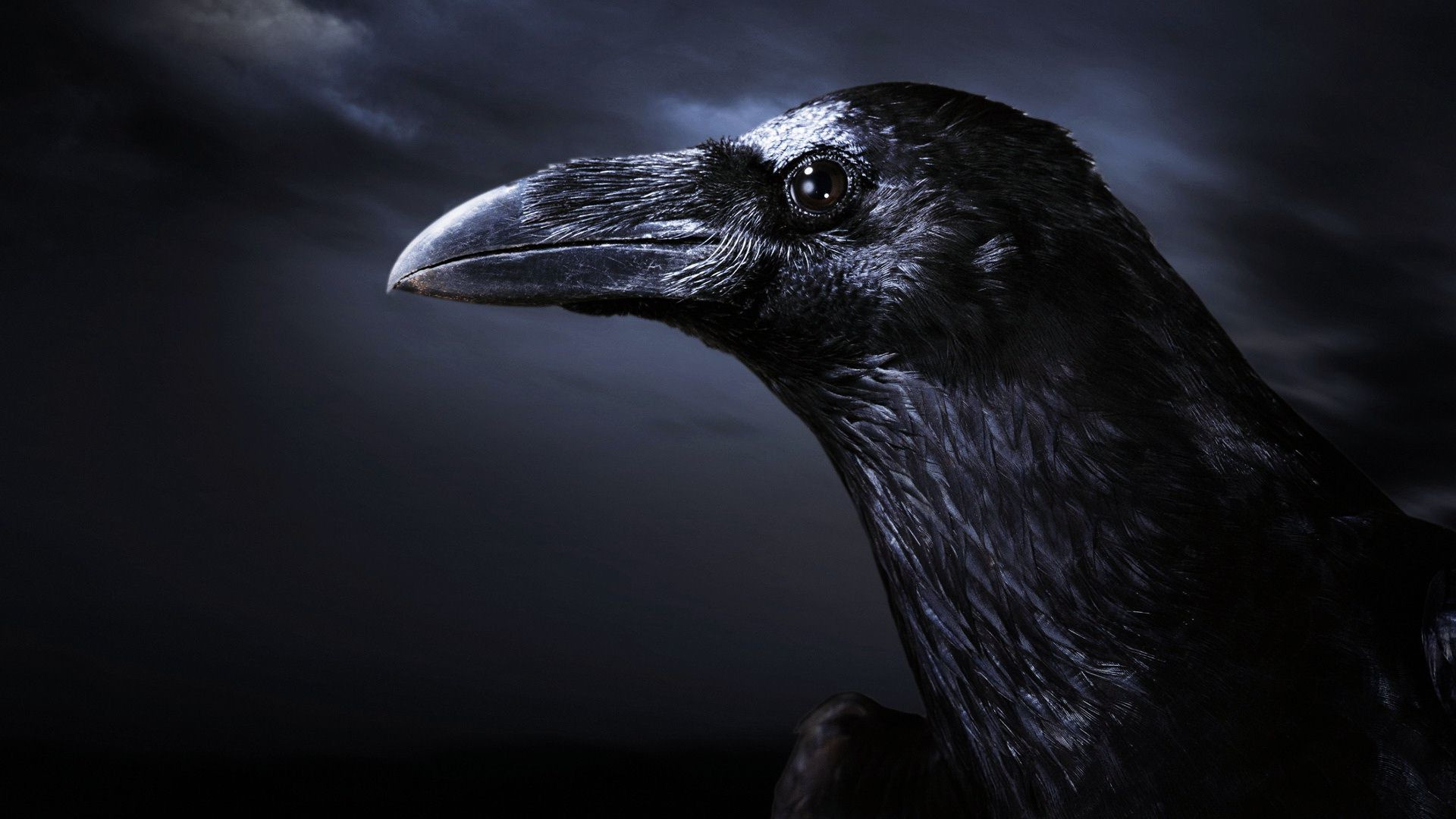 Crow Wallpapers And Backgrounds Crow With Dark Background 1920x1080 Download Hd Wallpaper Wallpapertip