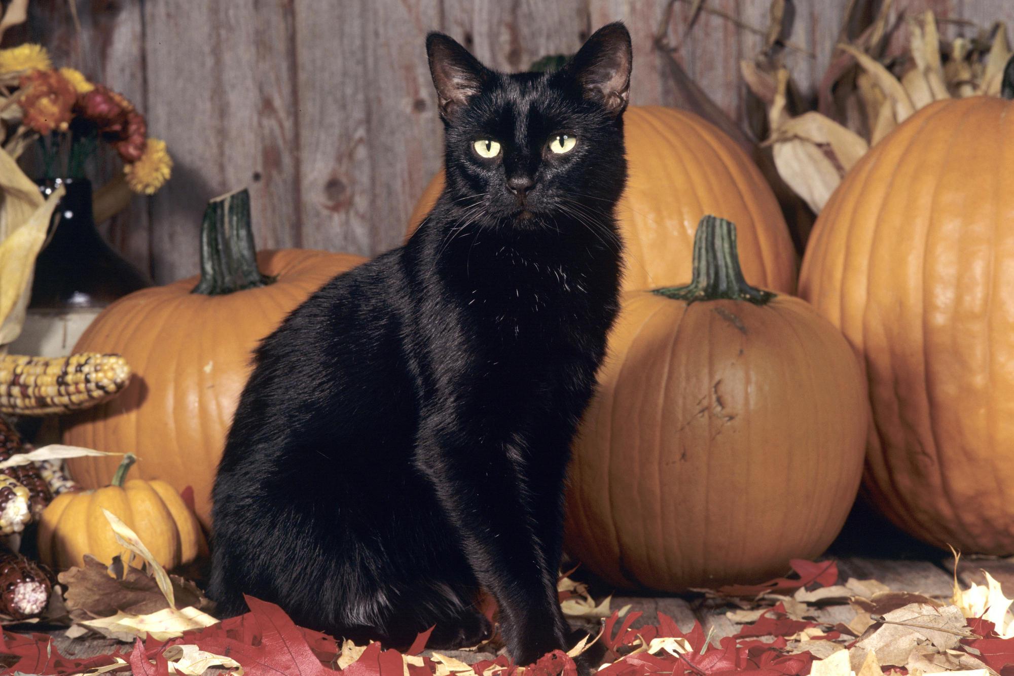 Scary Black Cat Wallpaper Black Cat Wallpaper Halloween 2000x1333 Download Hd Wallpaper Wallpapertip