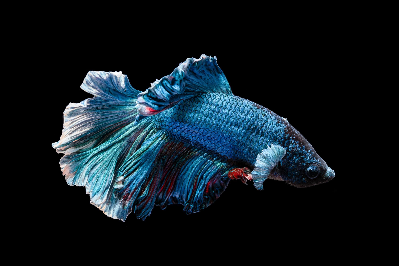 Ikan Cupang 2880x1920 Download Hd Wallpaper Wallpapertip