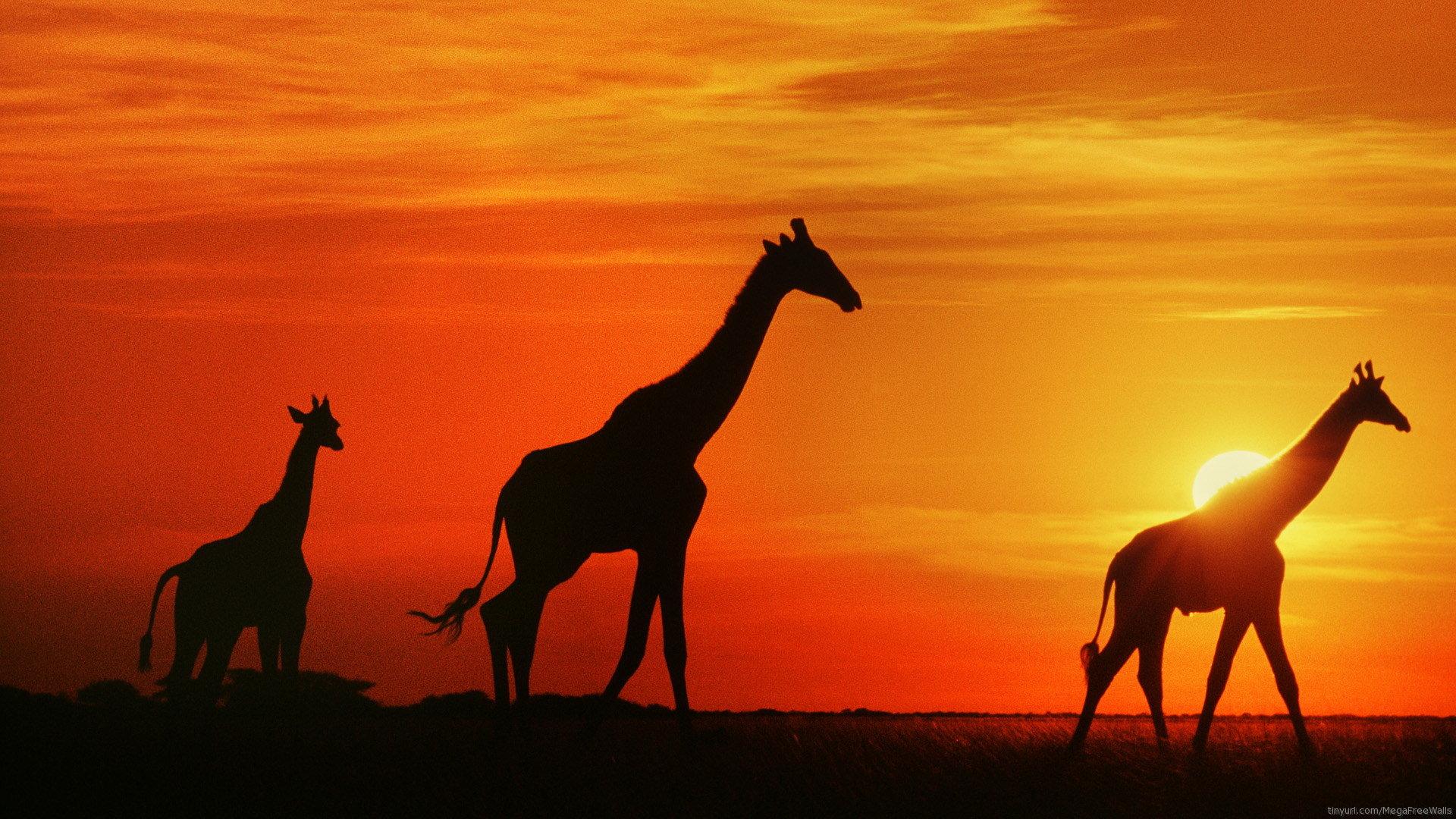 Girafe Fond D Ecran Hd Imagenes Fond D Ecran Hd 1920x1080 Wallpapertip
