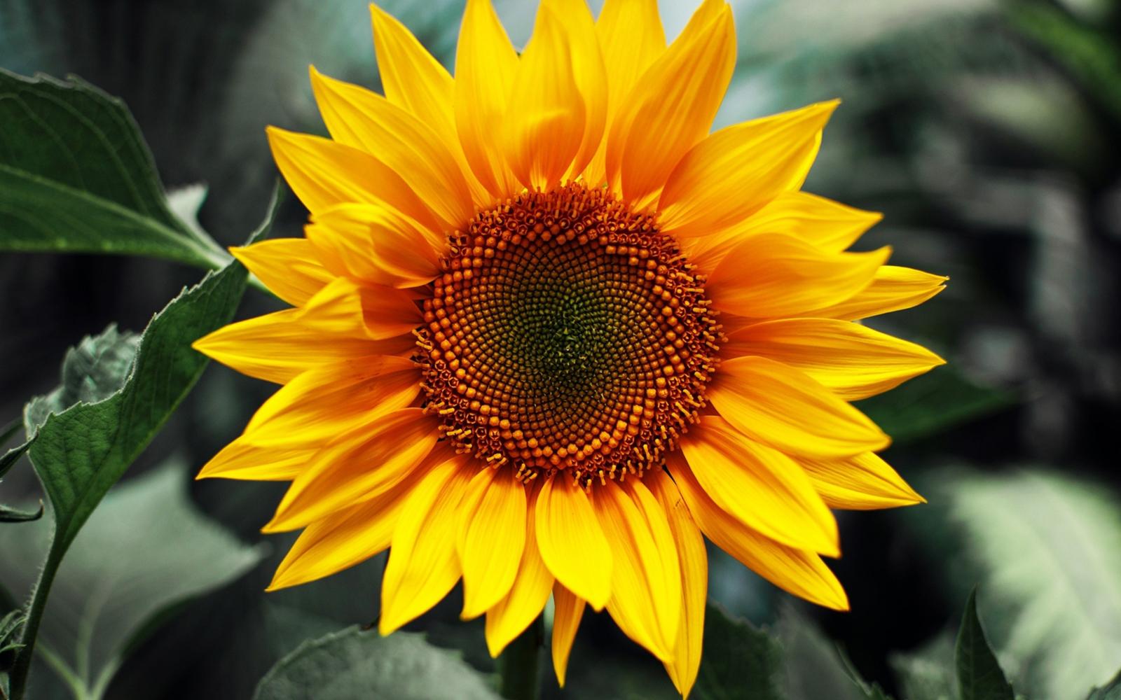 Hd Sunflower Wallpaper Long Hd Wallpapers For Pc ...