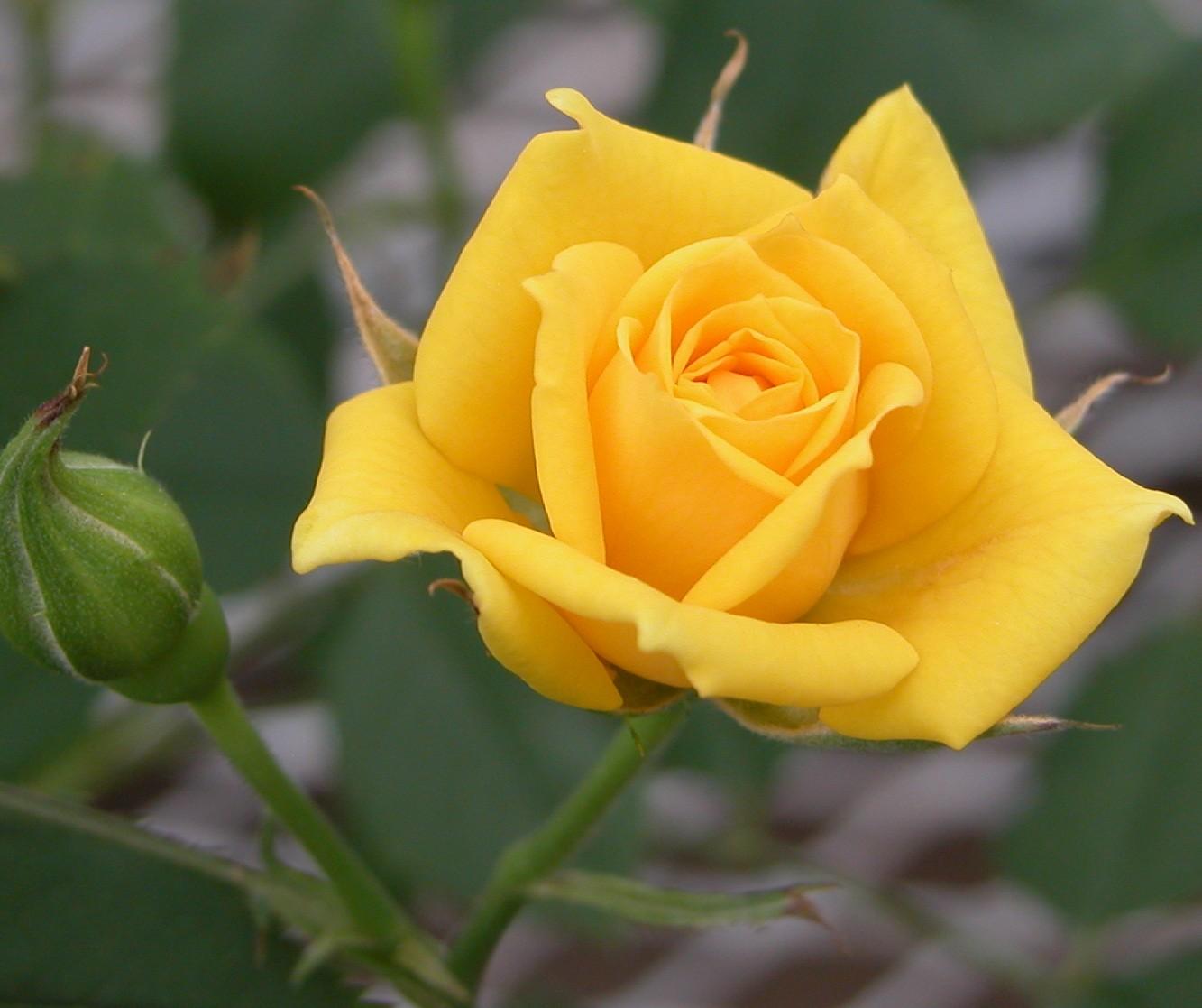 Yellow Rose Image Download 1333x1117 Download Hd Wallpaper Wallpapertip