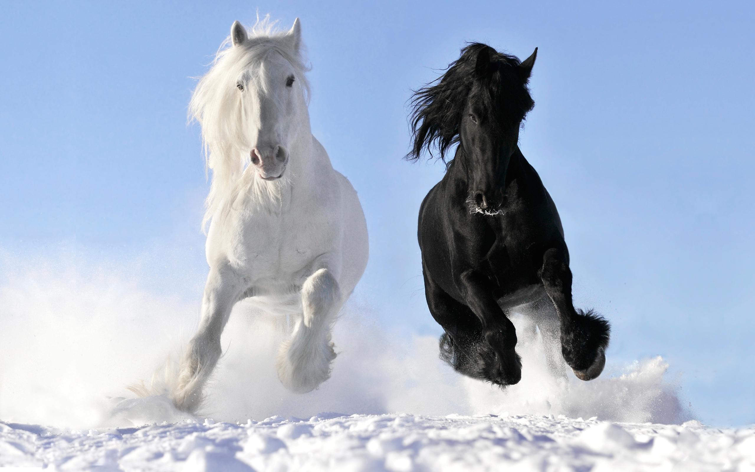 Horses Wallpaper Beautiful Friesian Horse White 2560x1600 Download Hd Wallpaper Wallpapertip