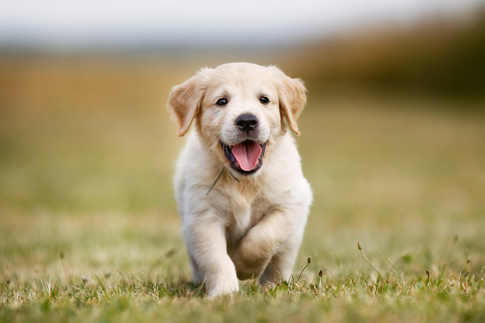Puppy Dog Wallpaper Golden Retriever Facts 1920x1280 Download Hd Wallpaper Wallpapertip