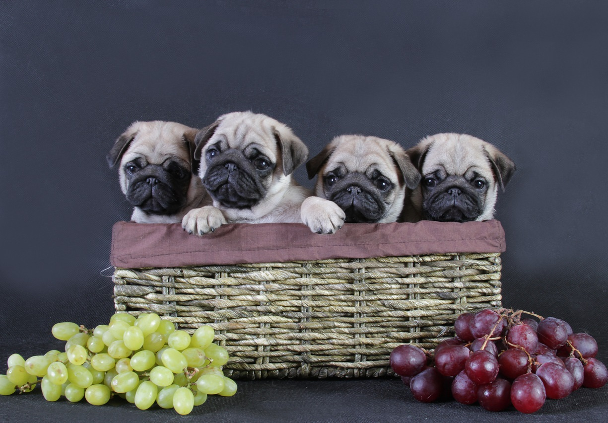 Pug Wallpaper Screensaver Background Cute Pug Puppies Pug 1225x852 Download Hd Wallpaper Wallpapertip