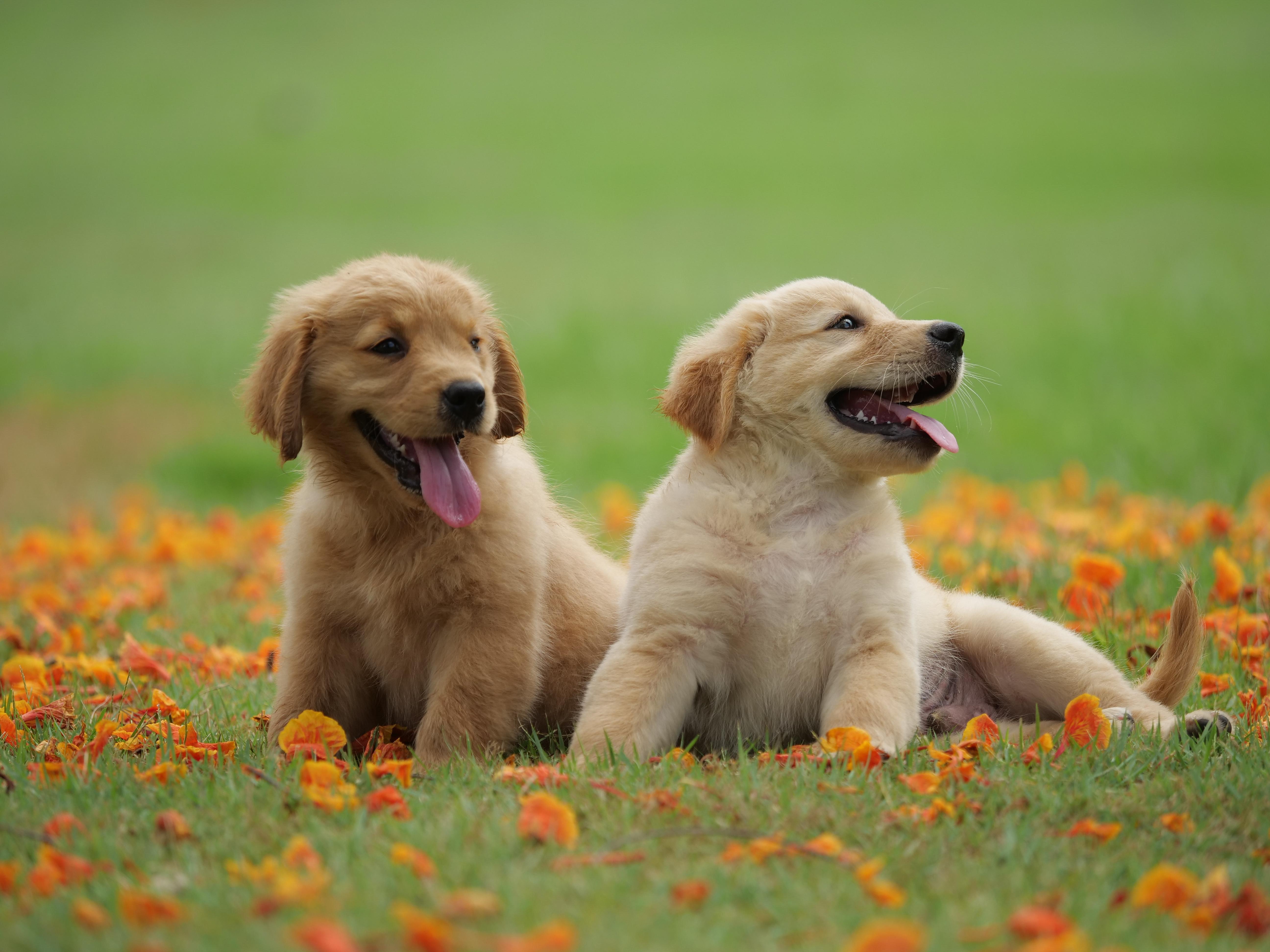Animal Baby Dog Golden Retriever Pet Puppy Wallpaper Cute Little Dogs Retrievers 5184x3888 Download Hd Wallpaper Wallpapertip