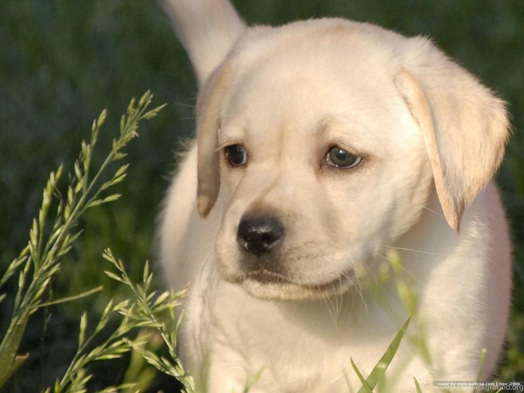 Labrador Retriever Puppy Wallpapers Hd Inn 1600x1200px Lab Dog Wallpaper Hd 1024x768 Download Hd Wallpaper Wallpapertip