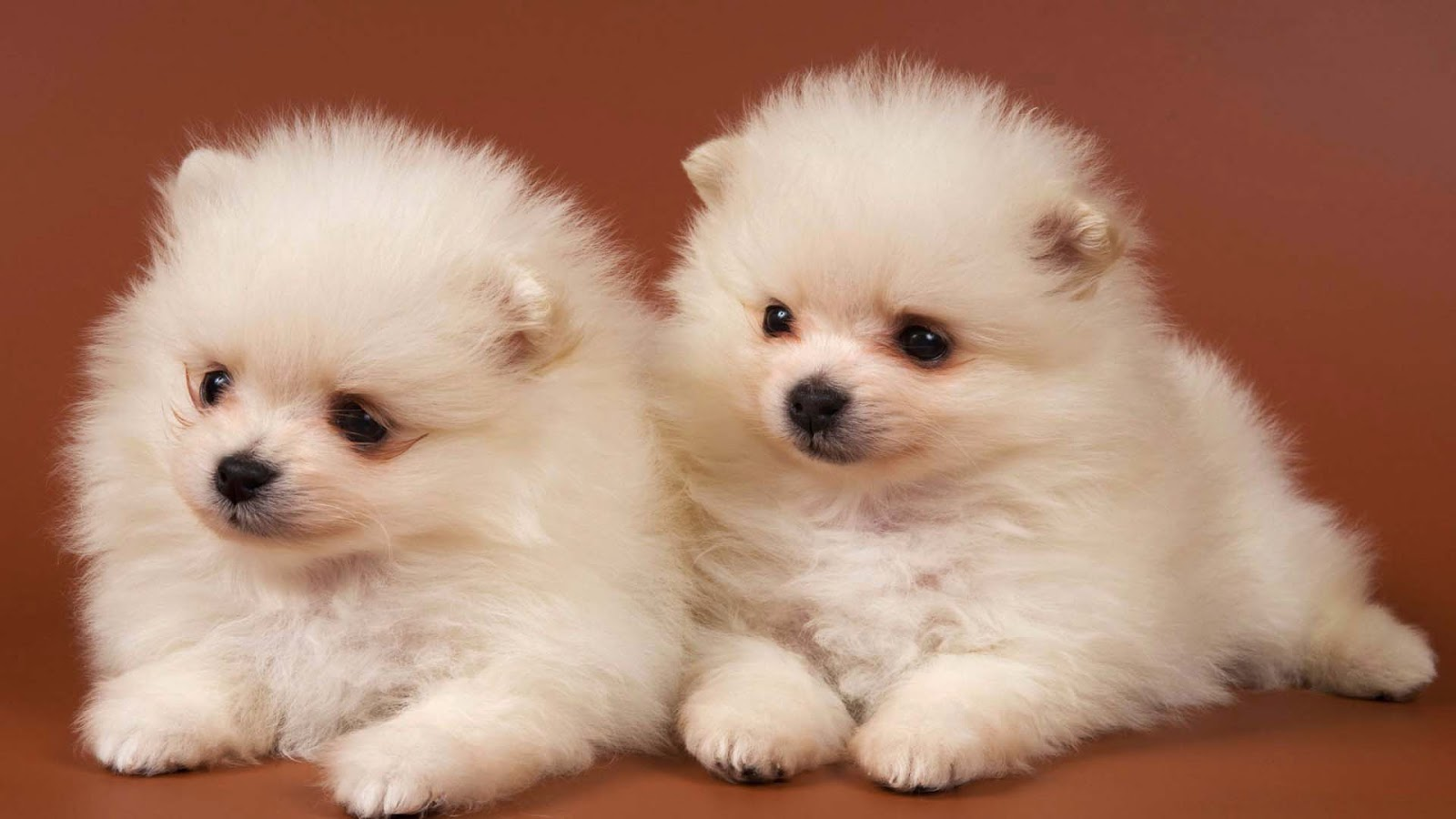 Pomeranian Puppies Wallpapers Cute Puppy Wallpapers For Computer 1600x900 Download Hd Wallpaper Wallpapertip