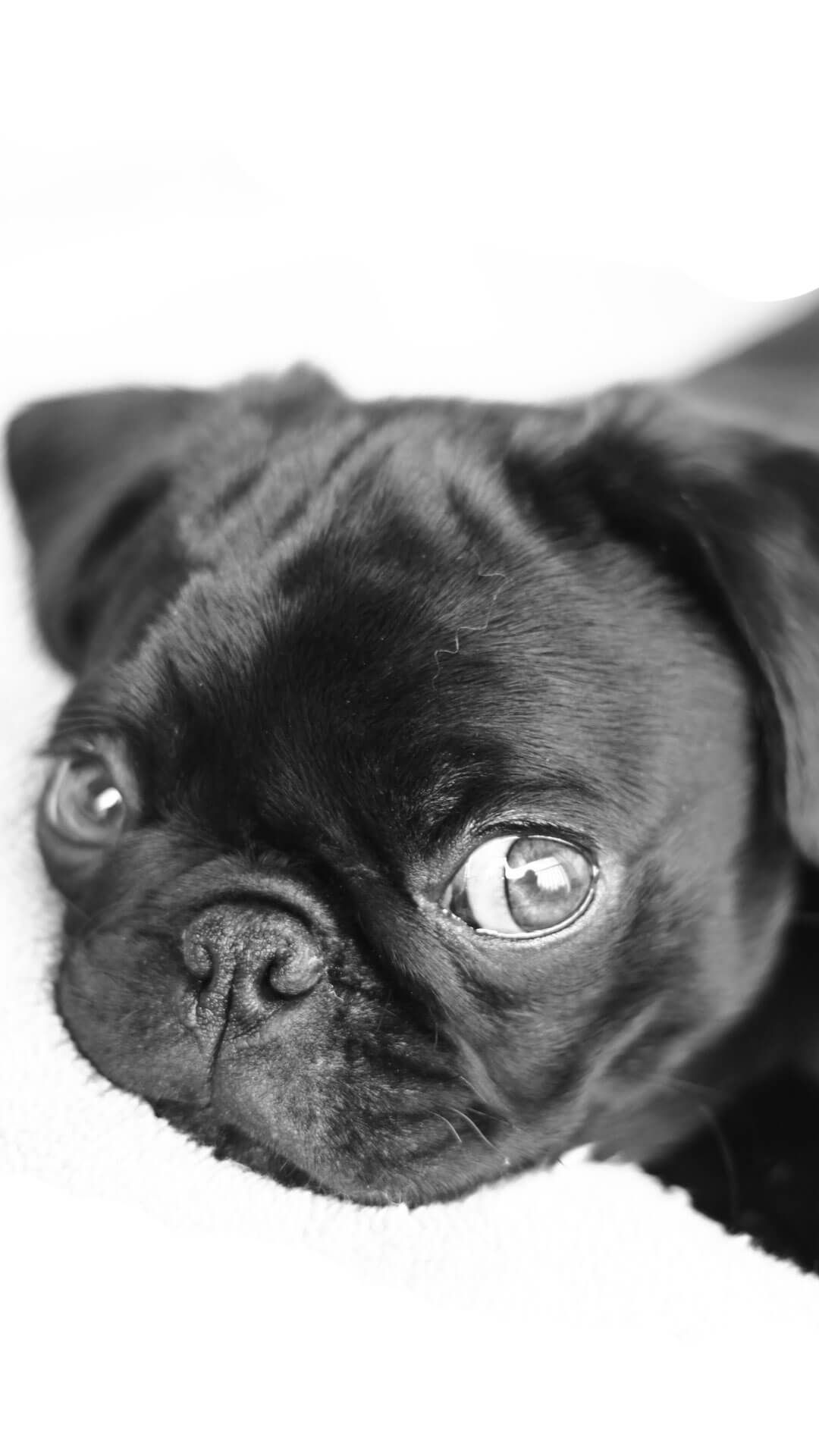 Cute Pug Puppies Wallpaper 8y7368y Fondos De Pantalla Para Ipad De Perritos Pug 1080x1920 Download Hd Wallpaper Wallpapertip