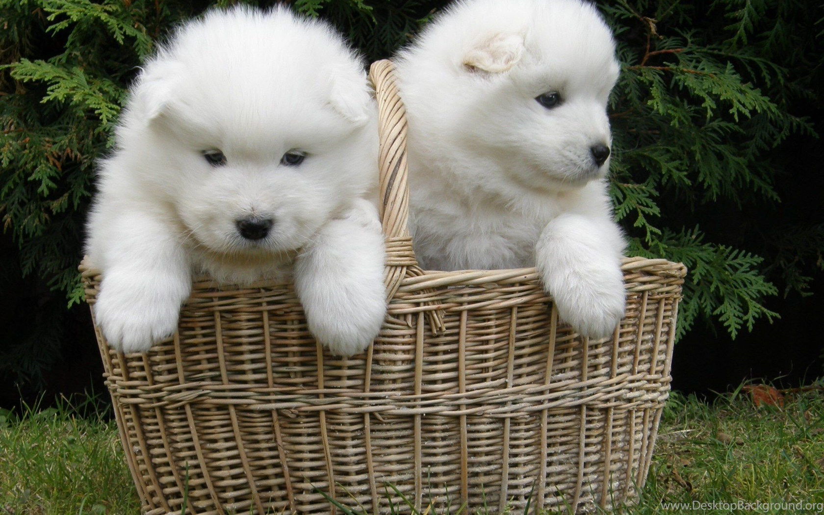 Samoyed Dog Dogs Canine Baby Puppy Wallpapers Samoyed Puppy Wallpaper Android 1680x1050 Download Hd Wallpaper Wallpapertip
