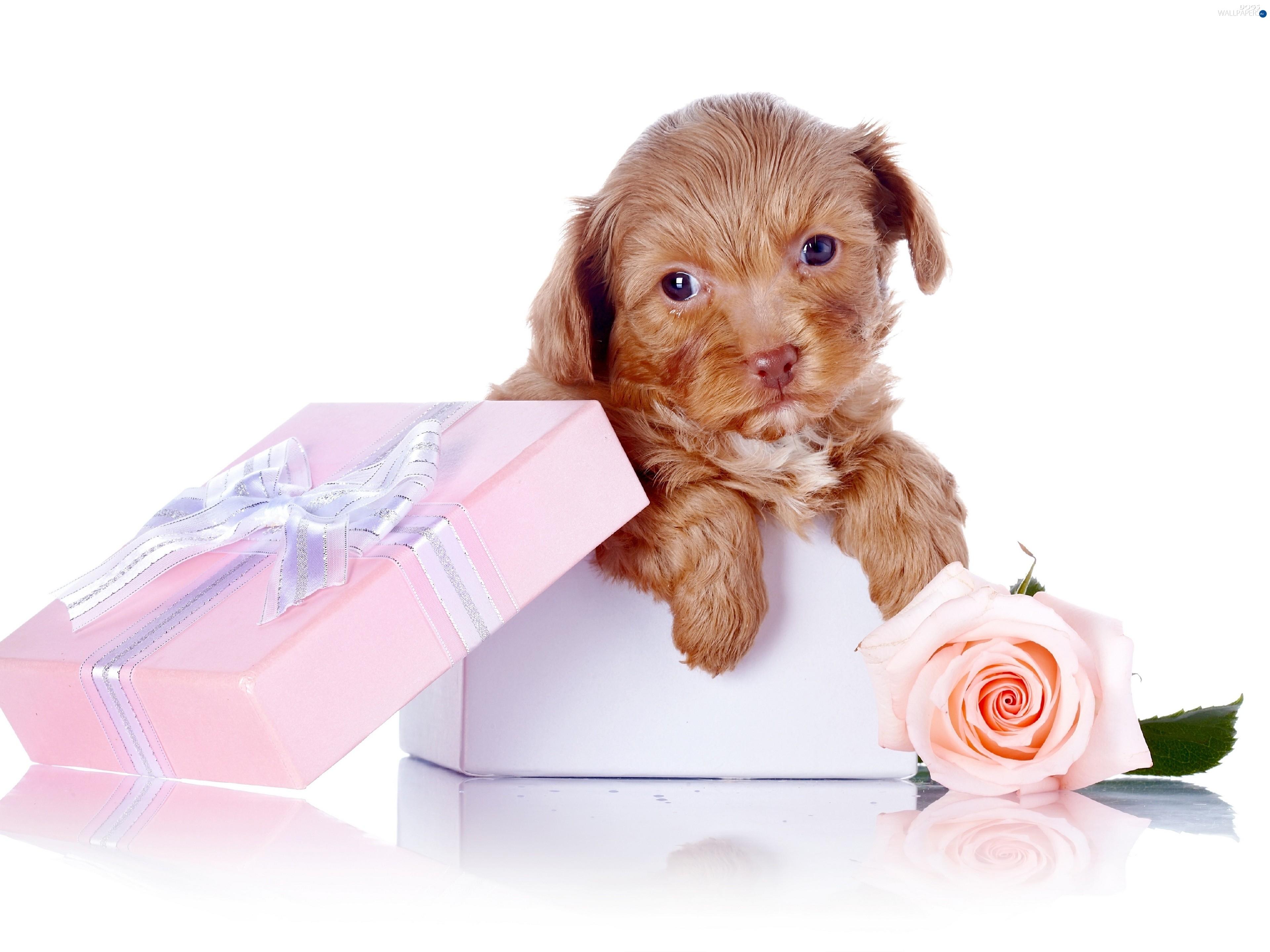 Sweet Present Dog Bichon Frise Puppy Carte Humour Fete Des Meres 3840x2879 Download Hd Wallpaper Wallpapertip