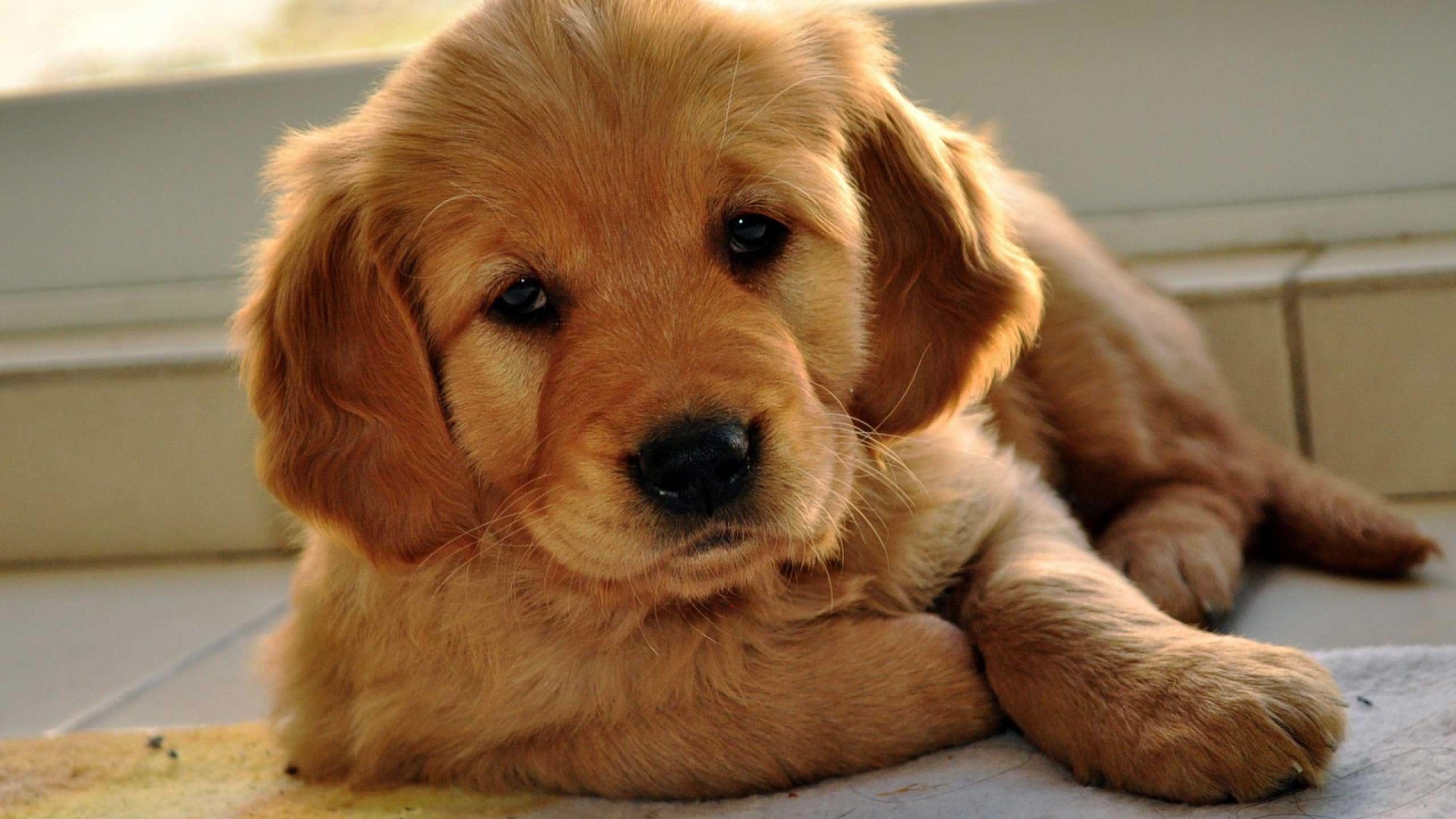 Cute Golden Retriever Puppies Red 2560x1440 Download Hd Wallpaper Wallpapertip