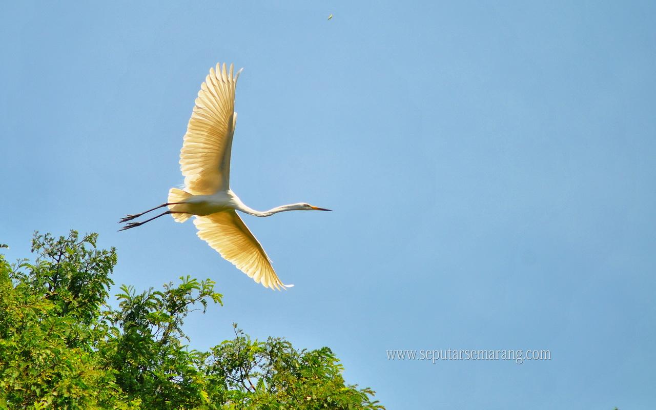 Wallpaper Burung Bangau Terbang Di Langit Biru Water Bird 1280x800 Download Hd Wallpaper Wallpapertip