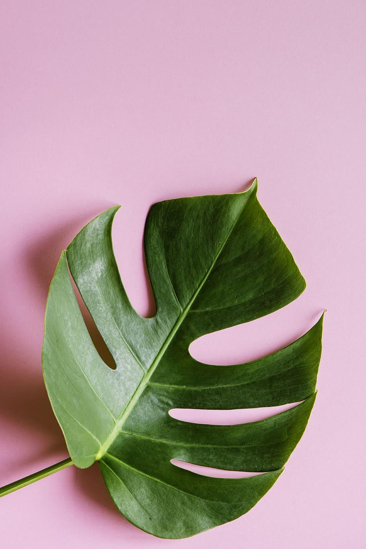 Foto Daun Keju Swiss Wallpaper 4k Segar Kesegaran Tropical Leaf Pink Background 910x1365 Download Hd Wallpaper Wallpapertip