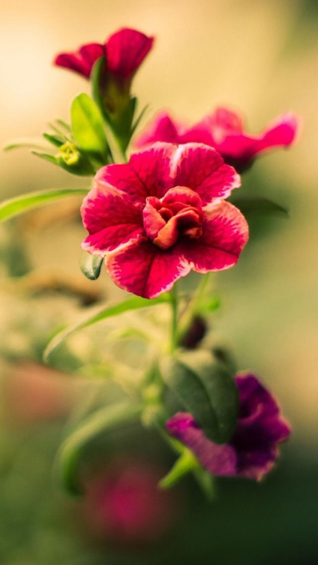 Flower Flowering Plant Petal Pink Red Plant Iphone Iphone Se Wallpaper Pink Flowers 640x1136 Download Hd Wallpaper Wallpapertip