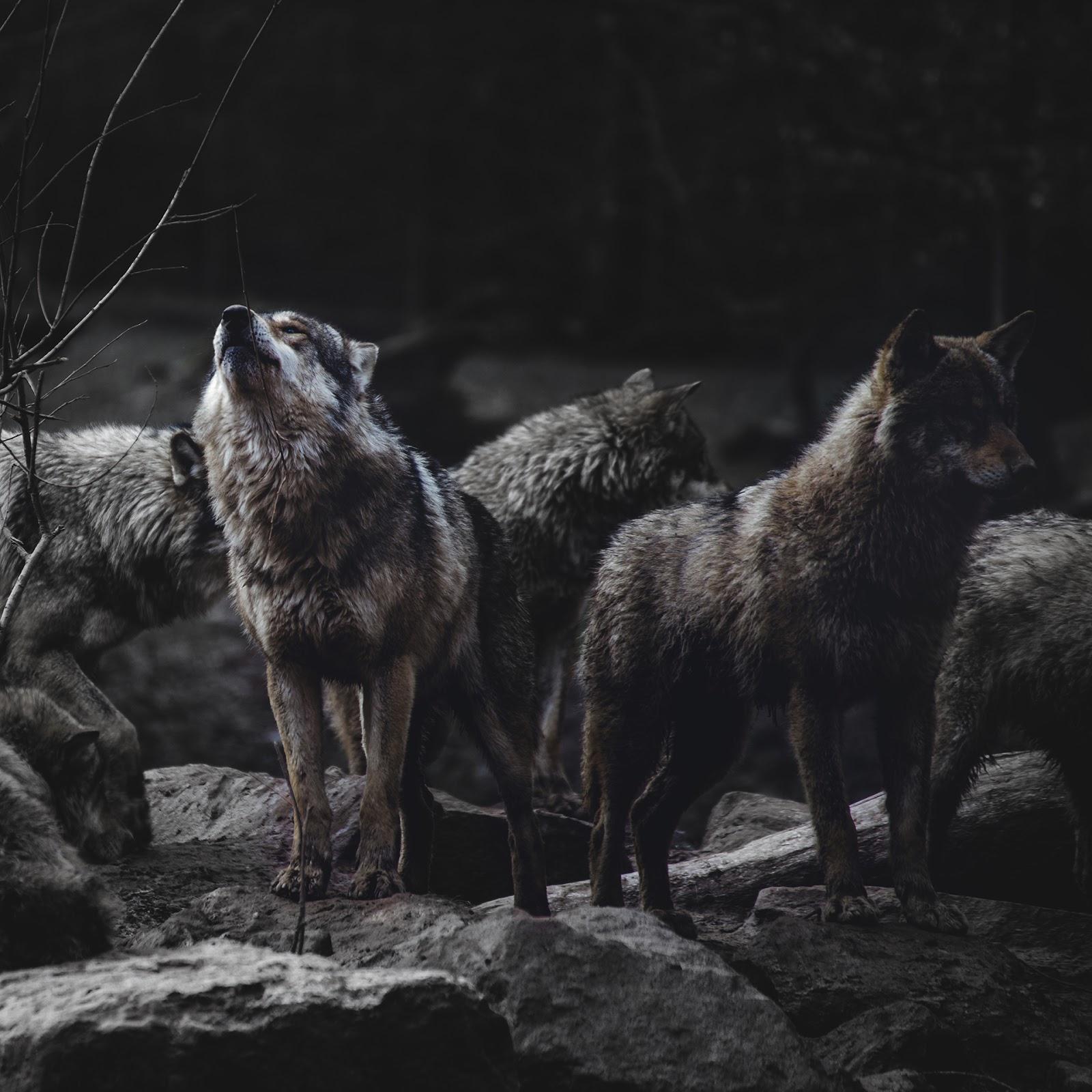 Wolf Pack Brown Background 1600x1600 Download Hd Wallpaper Wallpapertip