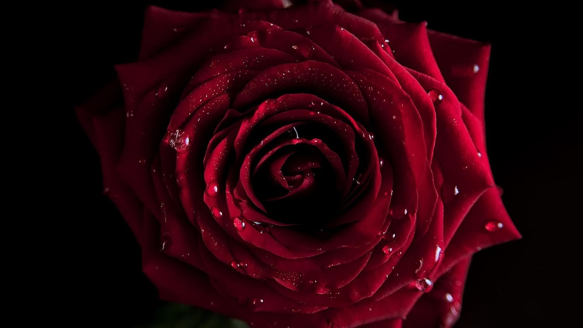 Red Rose Background Black 1920x1080 Download Hd Wallpaper Wallpapertip