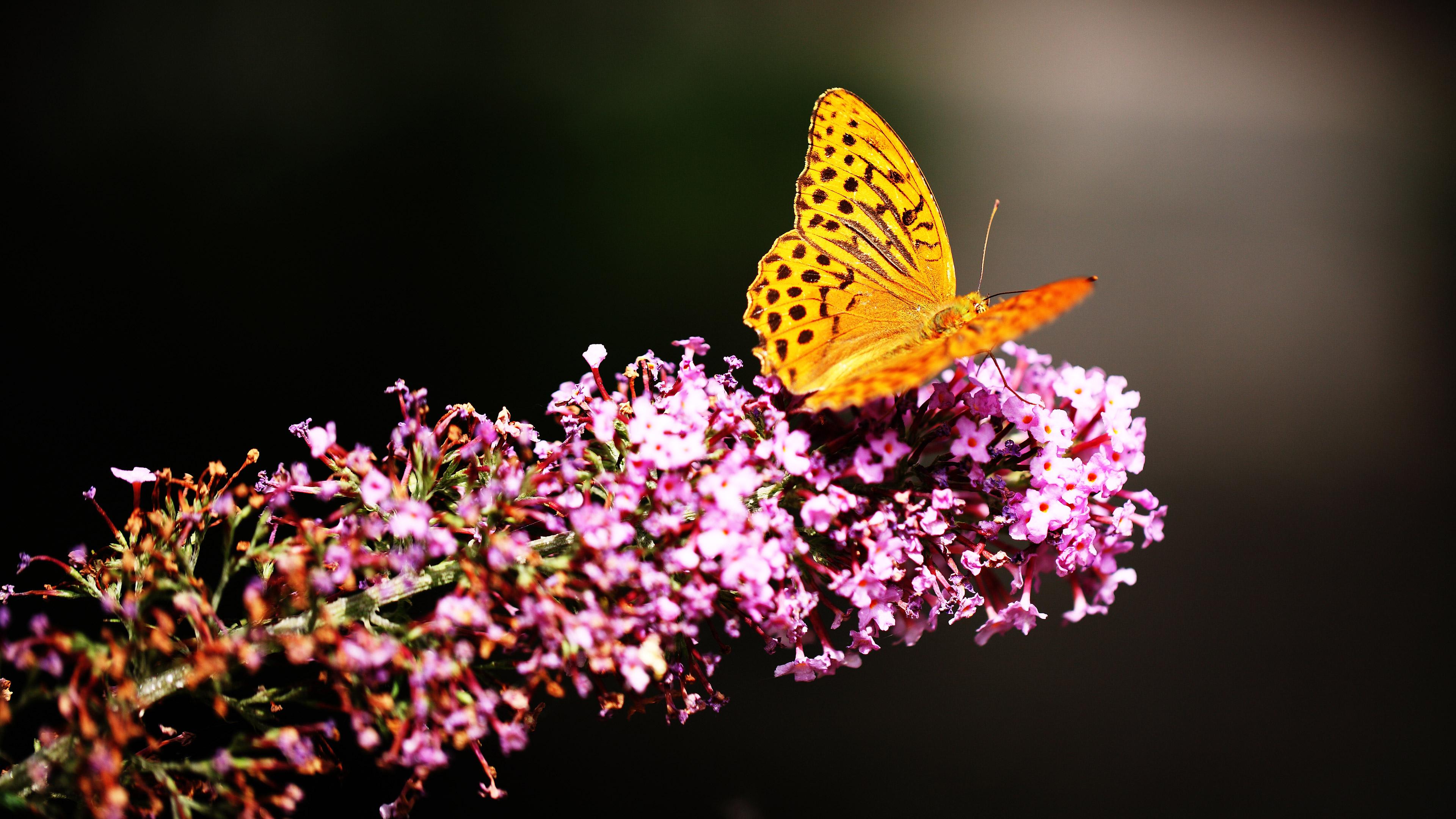 Beautiful Butterfly 4k Ultra Hd Butterfly Wallpaper 4k 3840x2160 Download Hd Wallpaper Wallpapertip