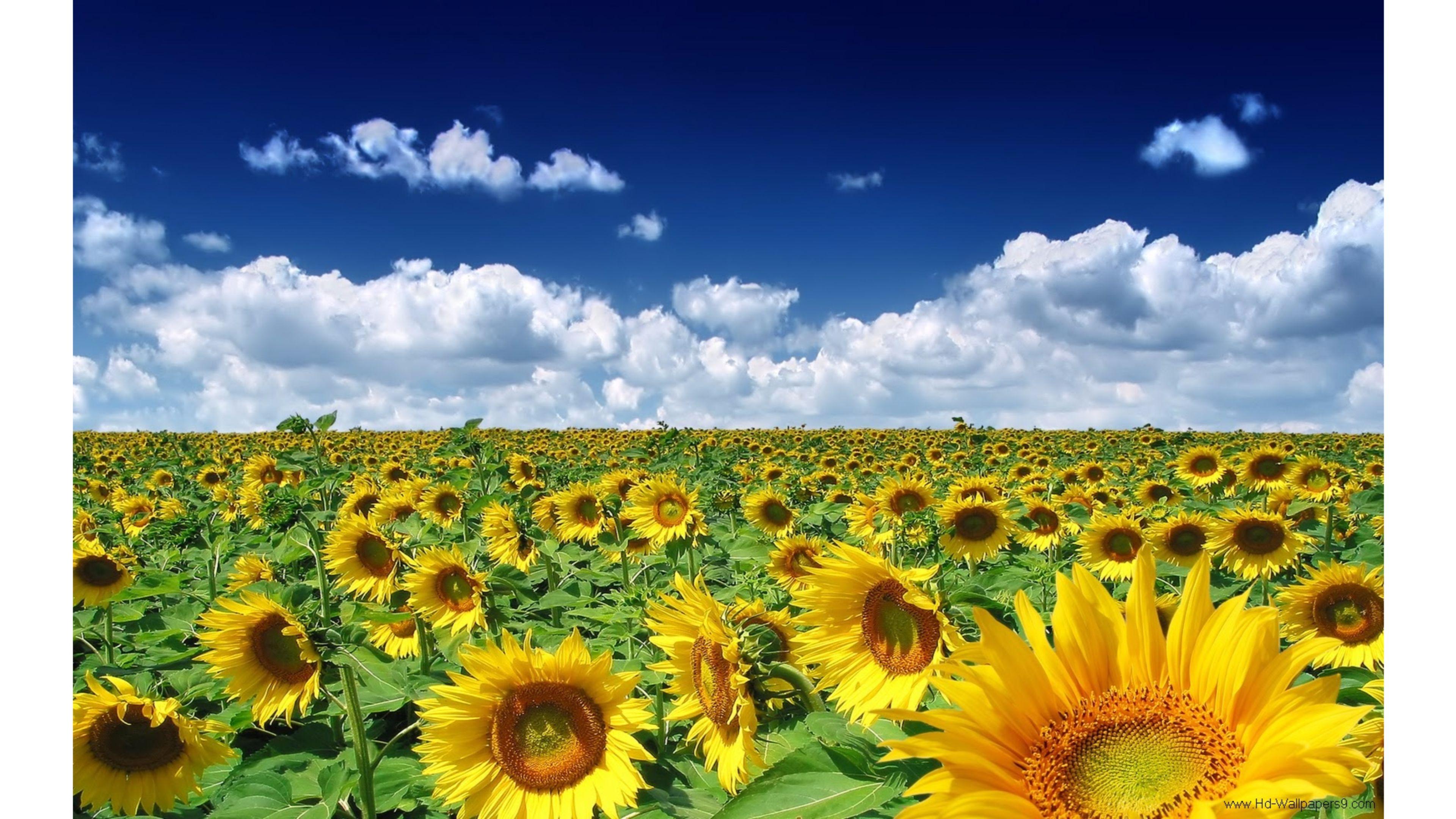 Sunflowers Summer Wallpaper 4k Wallpaper Sunflowers Laptop 3840x2160 Download Hd Wallpaper Wallpapertip