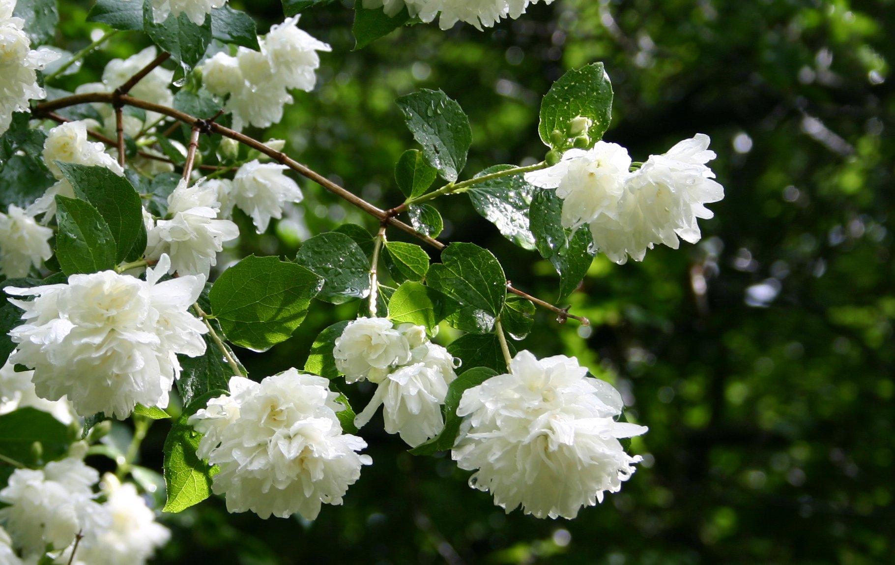 Pictures Of Jasmine Flowers Jasmine Flower Images Hd 1821x1149 Download Hd Wallpaper Wallpapertip