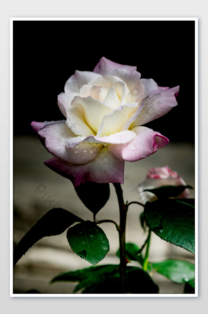 Beautiful White Rose Flower Photography Picture Gambar Bunga Mawar Pink Yang Indah 700x1053 Download Hd Wallpaper Wallpapertip