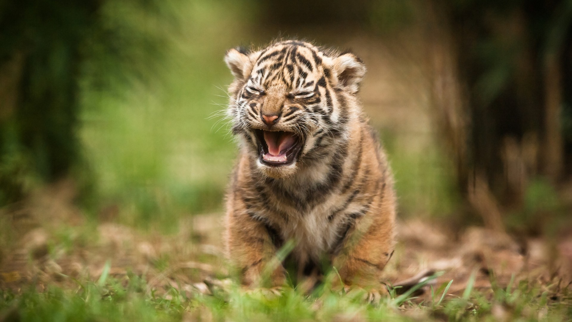 Search Results For Baby Tiger Wallpaper Hd Adorable Cute Baby Tiger Wallpaper Hd 1920x1080 Download Hd Wallpaper Wallpapertip
