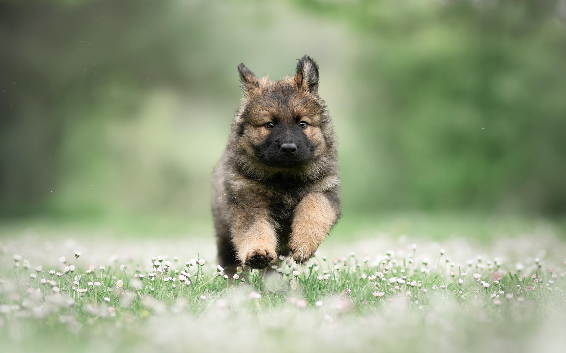 Running German Shepherd Puppy Summer Pets Cute German Shepherd Baby Dog 1920x1200 Download Hd Wallpaper Wallpapertip