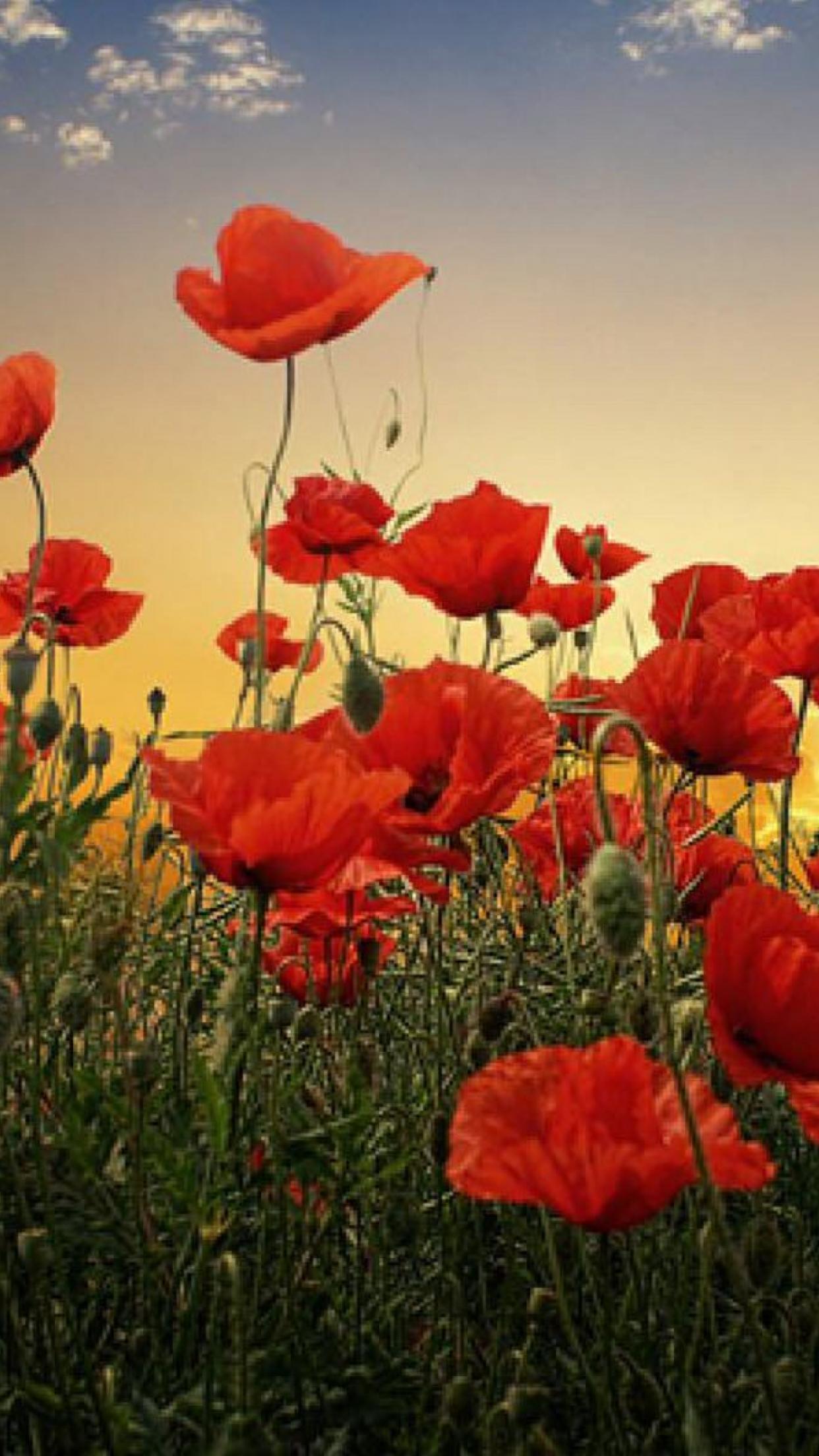 Beautiful Red Flower Garden Beautiful Poppies 1242x2208 Download Hd Wallpaper Wallpapertip