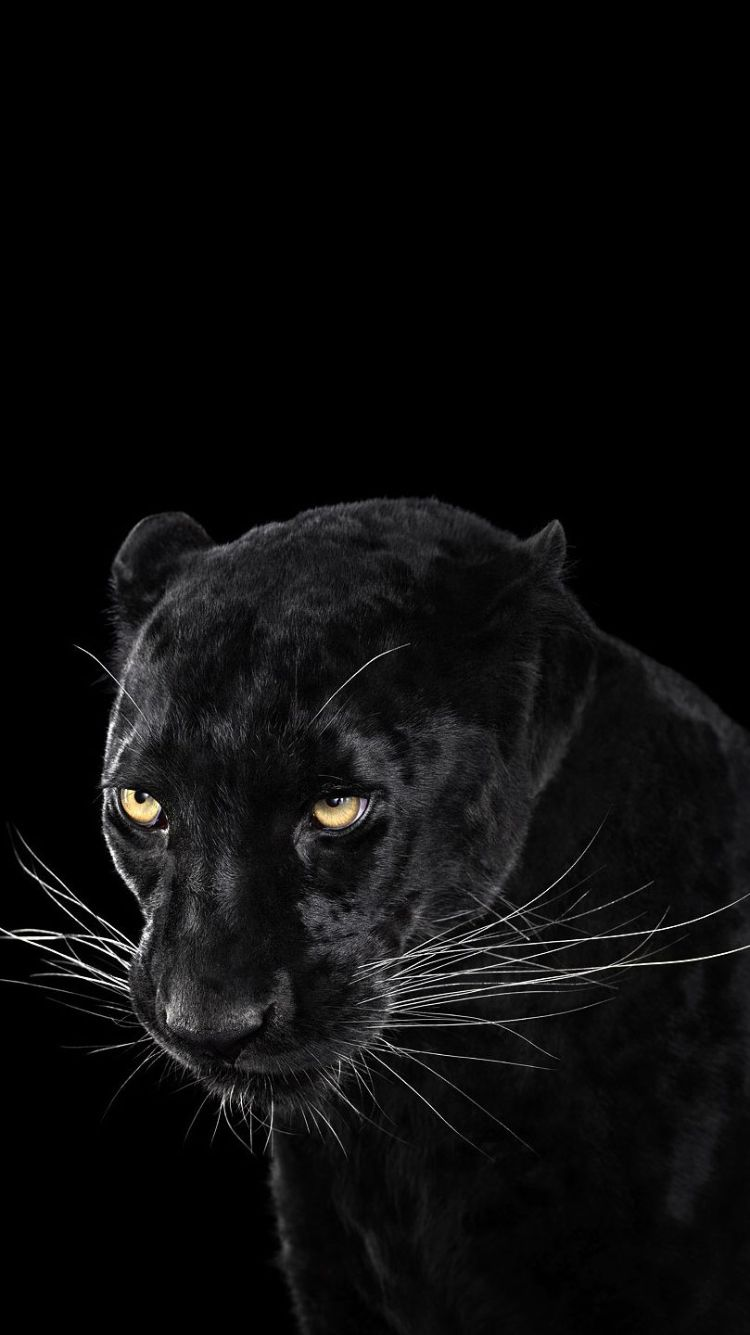 Black Panther Animal Wallpaper Iphone 640x1139 Download Hd Wallpaper Wallpapertip