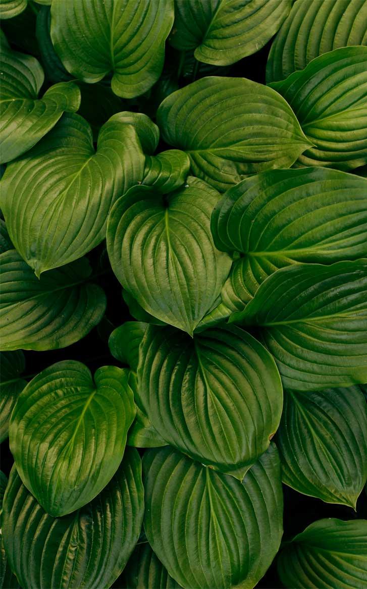 Eye Pleasing Leaf Wallpaper Tropical Leaves Botanicals 727x1167 Download Hd Wallpaper Wallpapertip Tropical leaves free background free photo. wallpapertip